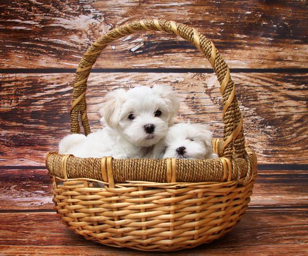 A-basket-of-pups