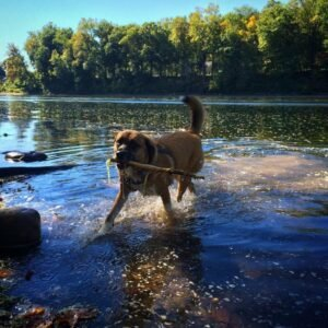 Grace- fetching-sticks-in-the-lake