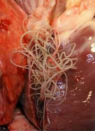 Heartworm-inside-a-dog