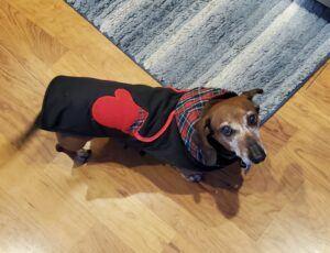 Charlie-dachshund