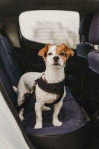 Dog-wearing-seat-belt