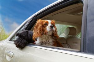 Dogs-looking-out-car-window