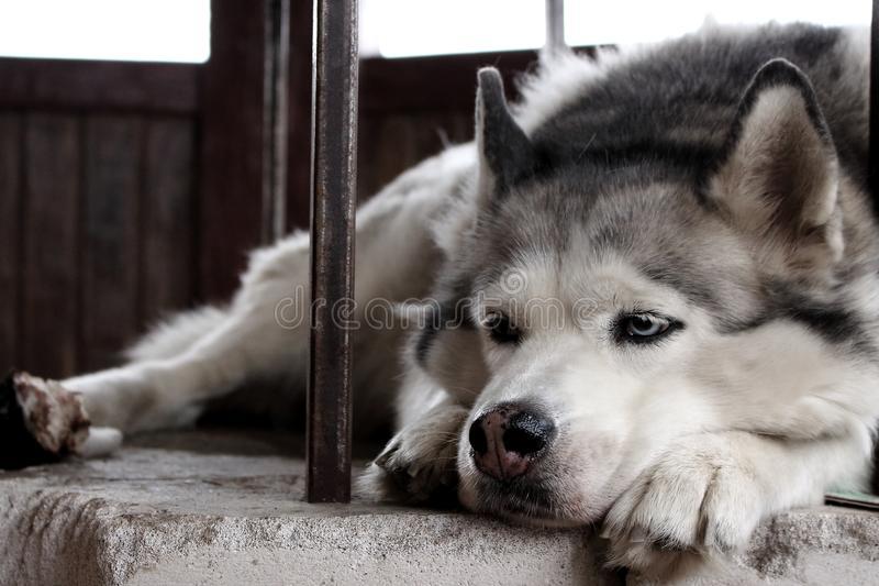 Husky-anxiety