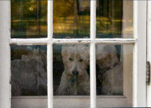 Dogs-waiting-at-window