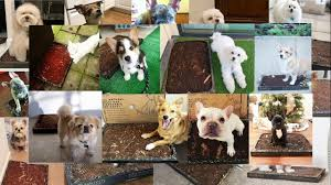 various-dogs-using-bark-potty