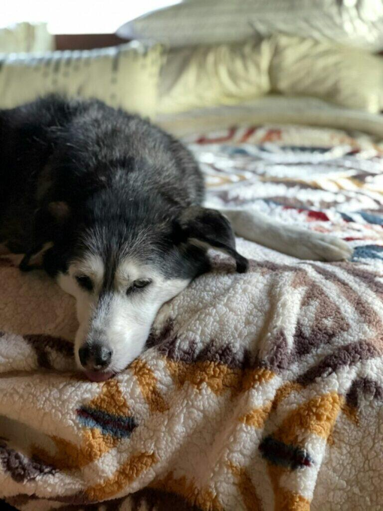 A-husky-on-the-bed