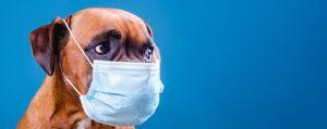 Boxer wearing flu mask