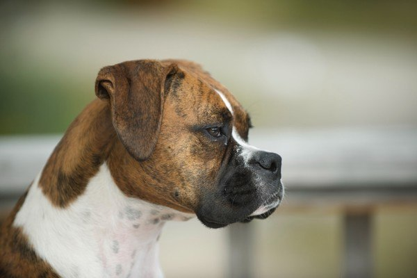 brown and with boxer looking sad