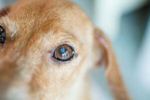 tan blind dog